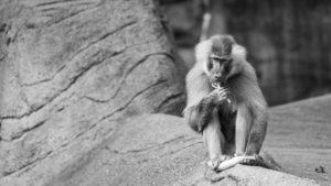 Mantelpavian im Tierpark Hagenbeck