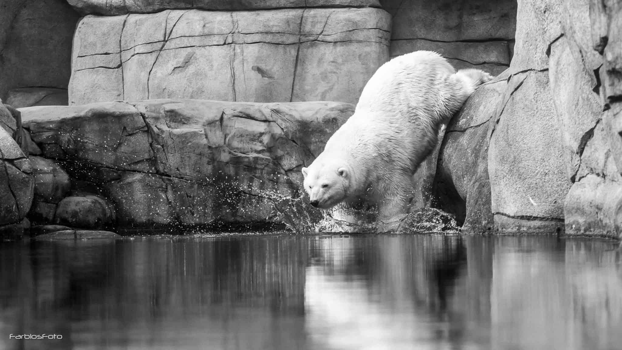 Eisbär im Tierpark Hagenbeck