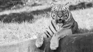 Sibirische Tiger im Tierpark Hagenbeck