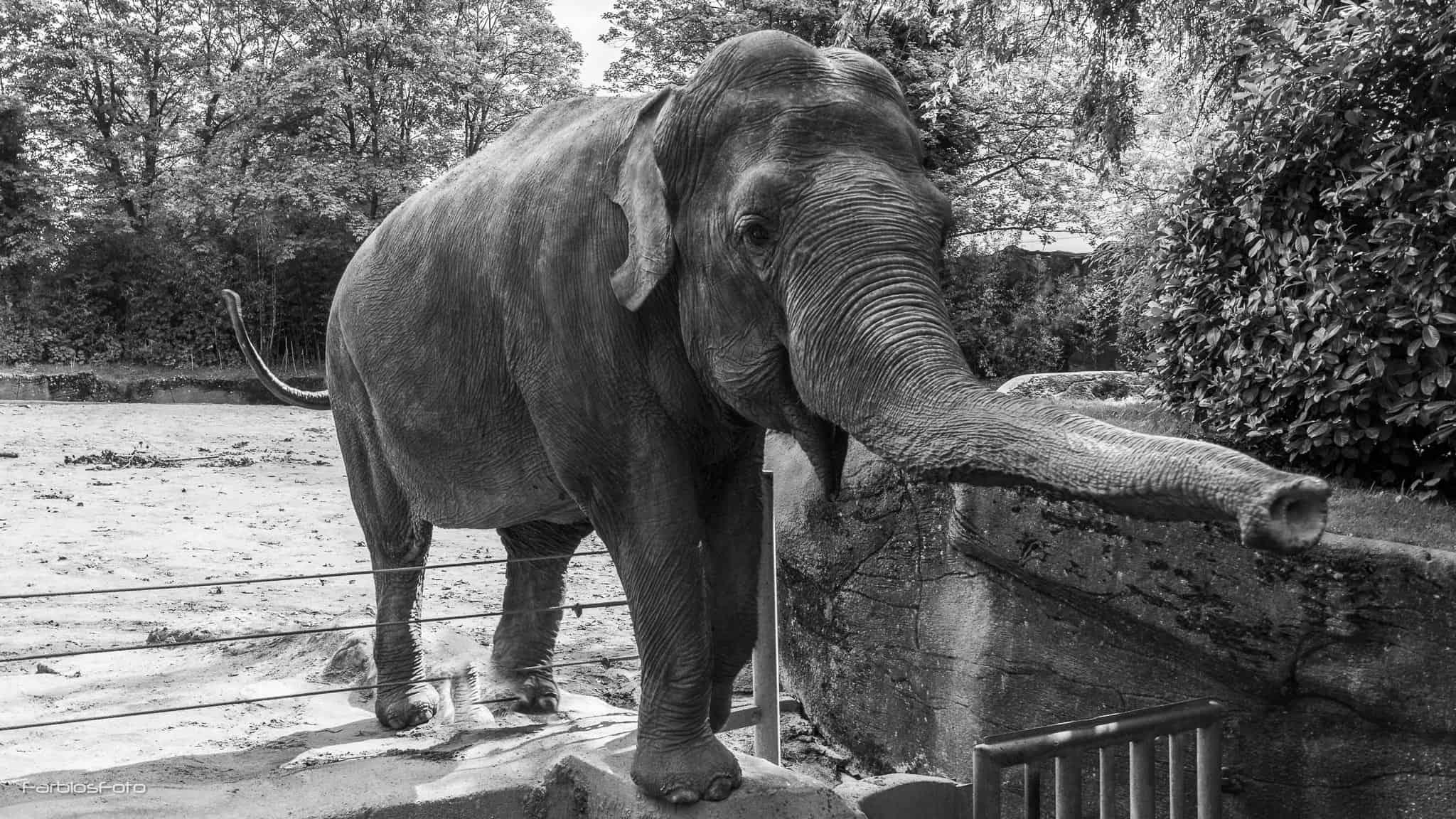 Asiatische Elefanten im Tierpark Hagenbeck
