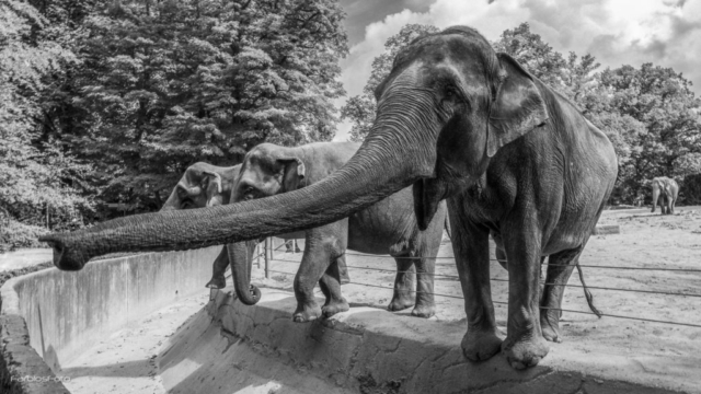 Asiatische Elefanten Hagenbeck