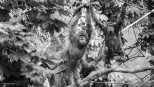 Sumatra Orang-Utans im Tierpark Hagenbeck